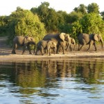 Chobe National Prak, elephants by the river
